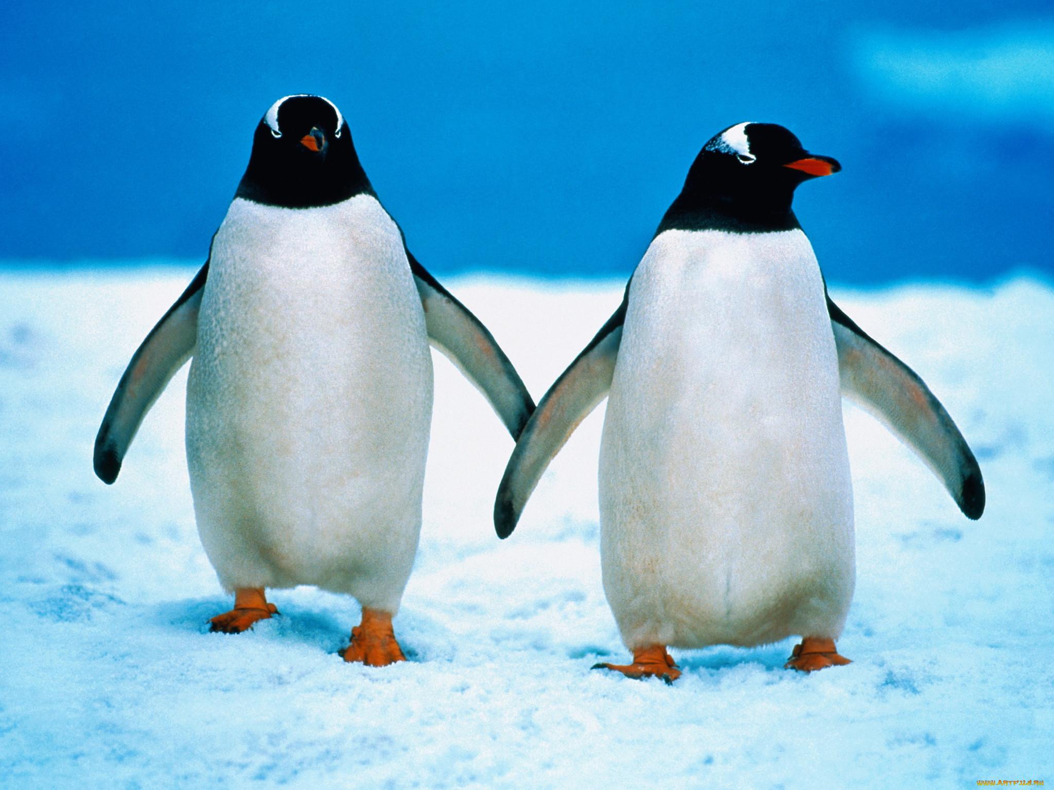 Картинка для детей пингвины на льдине